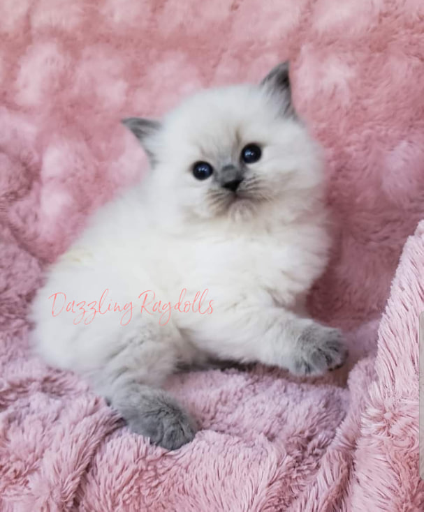 Dazzling Ragdolls - Kittens - Adoption Page