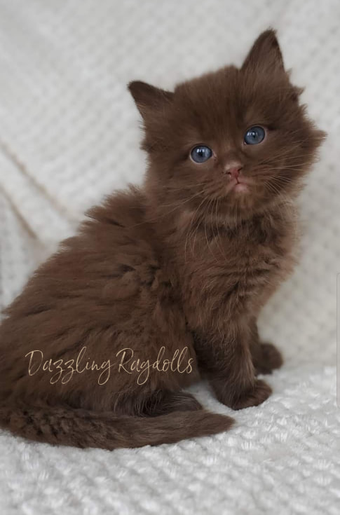 Dazzling Ragdolls - Kittens - Adoption Page
