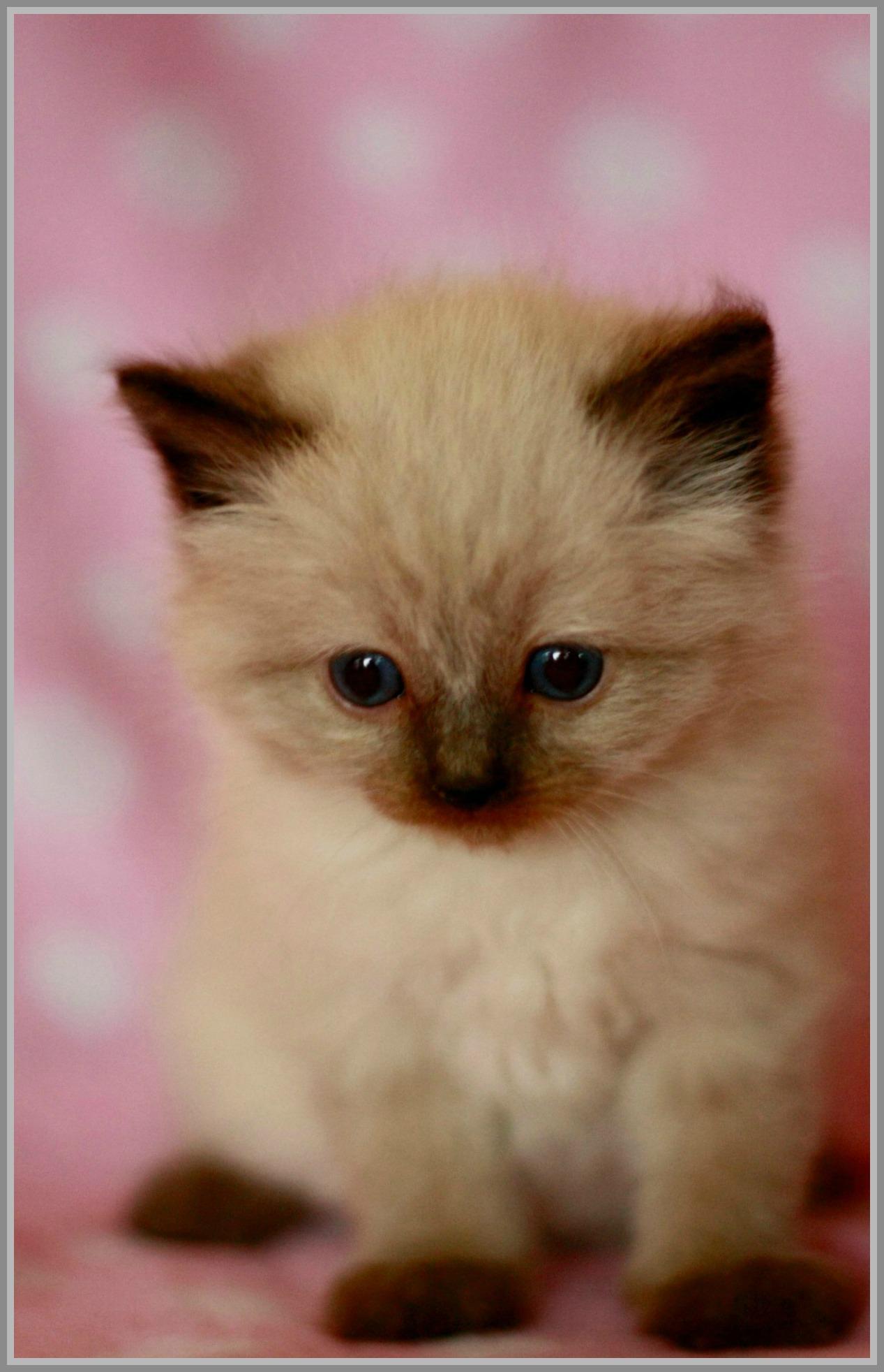 Kitten In A Bow Tie Kitten Sea Point Ragdoll