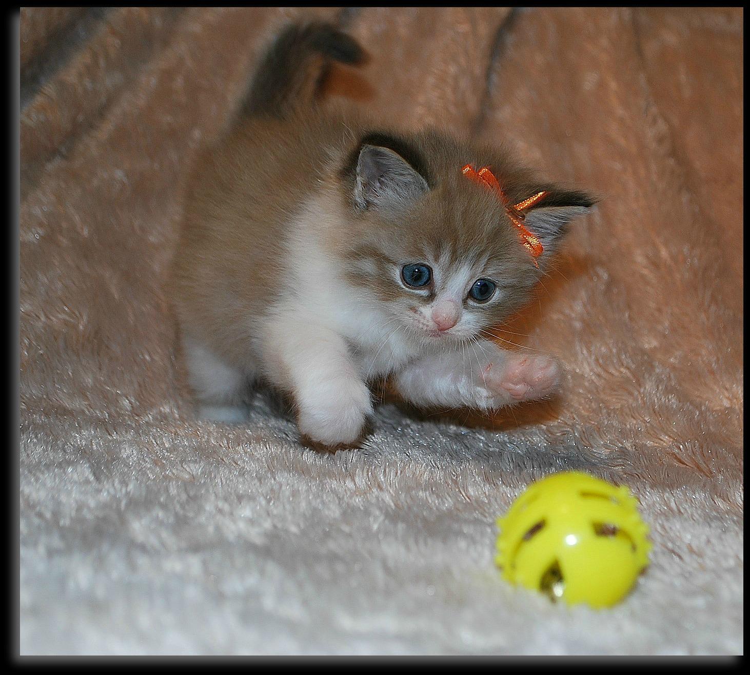 dazzling ragdolls   kittens   photo gallery page